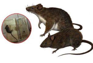 Đuổi chuột ra khỏi ngôi nhà của bạn an toàn hiệu quả