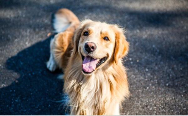 Đặc điểm của chó Golden